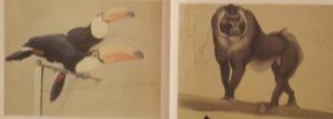 Туканы – слева. Павиан – справа. 1910